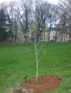 2007 RI Arbor Day Tree - from the last Liberty Tree