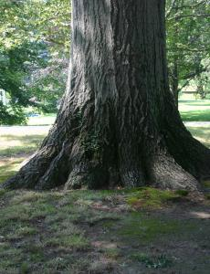 Wilcox Park Tree, Westerly RI - August 2008