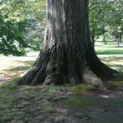 Wilcox Park Tree, Westerly RI - August 2008